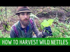 How to Harvest Wild Stinging Nettles with Herbalist, Yarrow Willard | Harmonic Arts - YouTube