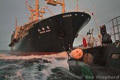 The Nisshin Maru approaches the stern of the Gojira.