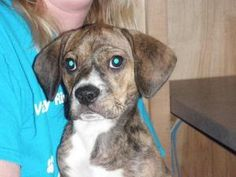 Violet is an adoptable Hound Dog puppy in Murphy, NC. Color:brindle/white...