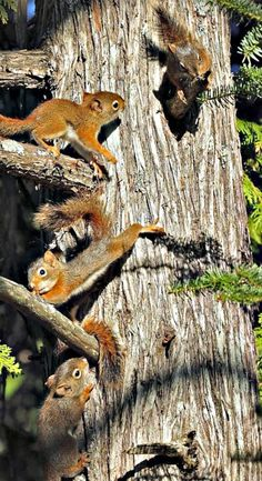 The Acorn And The Squirrel Majestic Animals, Animals Beautiful, Forest Animals, Woodland Animals, Wild Creatures, Little Critter, Baby Squirrel, Squirrel Feeder, Red Squirrel