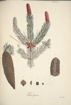 Vollständige Beschreibung und Abbildung der Sämmtlichen Holzarten, welche im mittlern und nördlichen Deutschland wild wachsen : - Biodive...