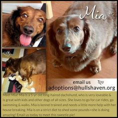 Pretty girl Mia looking for her Foster Parenting, Heavenly, Dachshund, Pretty Girls, The Fosters, Creatures, Club, Dogs, Dachshunds
