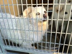 #A476440 Release date 12/11 I am a NEUTERED male, white Pomeranian mix. Shelter staff think I am about 5 years old. I have been at the shelter since Dec 04, 2014. ... City of San Bernardino Animal Control-Shelter. https://www.facebook.com/photo.php?fbid=10204073709420594&set=pb.1160364024.-2207520000.1417905855.&type=3&theater