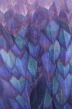 Purple feathers