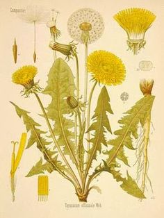 dandelion tea benefits | The tea is bitter in taste but it can do wonders to our health. We ...