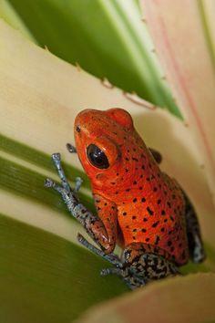 Oophaga pumilio almirante (Strawberry Poison Dart Frog - AKA - Blue Jeans) (by AlaskaFreezeFrame)