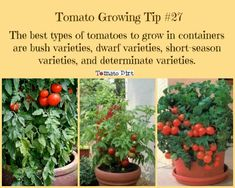 tomatoes in pots: best tomato varieties for small containers Tomato Growing Tip best tomato varieties to grow in small containers. with Tomato DirtTomato Growing Tip best tomato varieties to grow in small containers. with Tomato Dirt Types Of Tomatoes, Tips For Growing Tomatoes, Growing Tomato Plants, Growing Tomatoes In Containers, Growing Vegetables, Grow Tomatoes, Baby Tomatoes, Small Tomatoes, Cherry Tomatoes