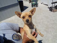 ***SUPER SUPER URGENT!!!*** - PLEASE SAVE PABLO!! - EU DATE: 6/26/2015 -- Pablo Breed:Chihuahua (mix breed) Age: Adult Gender: Male Size: Small Special needs: hasShots, Shelter Information: Delano Animal Shelter 1525 Mettler Avenue  Delano, CA Shelter dog ID: 06112015c-d01 Contacts: Phone: 661-721-3377 Name: Delano Animal Control email: SHELTER661@GMAIL.COM  Read more at http://www.dogsindanger.com/dog/1434138767776#gvjjfAMkJD7LSfUi.99