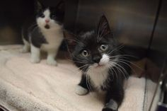 Kittens! is an adoptable Domestic Short Hair searching for a forever family near…