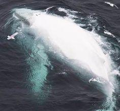 Baleia gigante branca: A mais rara baleia do planeta