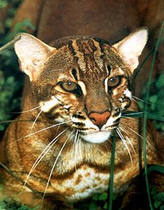 Asian golden cat (Pardofelis temminckii) The golden cat is thought to be under threat in much of its range from deforestation and loss of habitat and this coupled with the pressures of hunting for its pelt has led the cat to be listed in CITES Appendix 1.