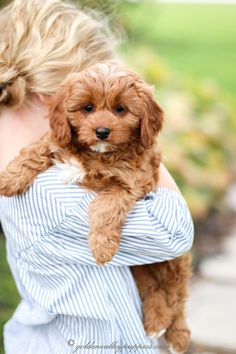 Home Of The Cavapoo - Cavapoo Puppies for Sale Cavapoo Puppies For Sale, Boxer Puppies, Puppy Cut, New Puppy, King Charles Spaniel, Cavalier King Charles, Puppy Pose, Red Poodles, Australian Labradoodle