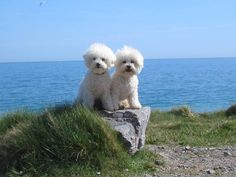 Bichons by the sea - Charlie & Sammy. Charles says to Sammy you better stick with me Sammy as what I here there a plenty of fish in the Sea.Sammy says don't tempt me Chuck...as how I see it I am the best you will ever find just look at me !!