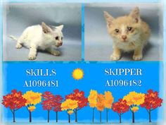 SKILLS - A1096481 AND SKIPPER - A1096482 - - Brooklyn  Please Share:***TO BE DESTROYED 11/15/16***4 WEEKS OLD, SKILLS HAS A PUNCTURED LEFT EYE – EATING ON OWN – NEED FOSTER! -  Click for info & Current Status: http://nyccats.urgentpodr.org/skills-a1096481-and-skipper-a1096482/
