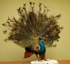 Taxidermy Sass Mouth Fantasy Couture Peacock in by bethandbeverly