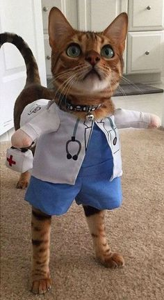 "Cats are are so awesome with amazing personalities and traits, until they're exposed by their owners."" Doctor cat her , How are you feline Funny Animal Memes, Cute Funny Animals, Funny Animal Pictures, Cute Baby Animals, Cat Memes, Funny Dogs, Funny Memes, Cute Cats And Kittens, I Love Cats"