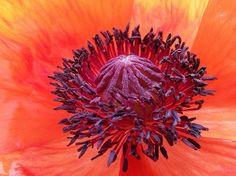 Back garden poppy....
