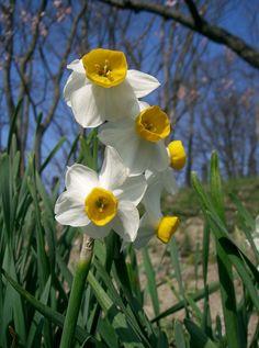 narcissus tazetta model - Google Search