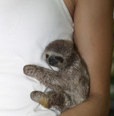 My daughter wants a pet sloth