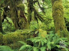 Moss Covered Trees in the Hoh Rainforest, Olympic National Park, Washington, USA Photographic Print by Jamie & Judy Wild at Art.com