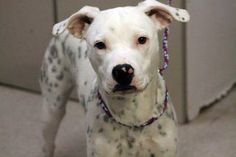 NAME: Brooke  ANIMAL ID: 24595041  BREED: dalmation mix  SEX: female  EST. AGE: 6 mos  Est Weight: 36 lbs  Health: heartworm neg  Temperament: dog friendly, people friendly ADDITIONAL INFO: RESCUE PULL FEE: $49  Available: 12/27