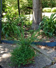 My lemon grass & thyme look really great but don't know about it keeping the Mosquitos away.