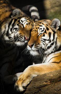 Tigre l'amour fou…