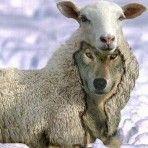 sheep-wolf