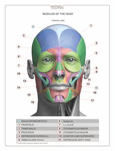 Head & Neck Anatomy book - MUSCLES - Estimated completion of this book is April 2016.