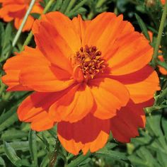Orange Cosmos - planted these in a central circle bordered with ivory marigolds with spring onions, gourmet lettuce and tomatoes in all the corners. Trying to attract the beneficial insects into the garden with this mix.