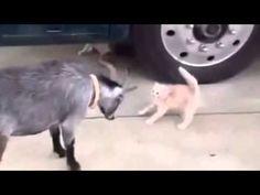 Котёнок, страшный зверь, против козы рогатой.
