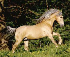 Sooty palomino Pura Raza Española stallion Sueno. photo: Christiane Slawik.