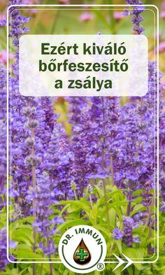 Salvia Officinalis, Herbs, Medical, Health, Alternative, Health Care, Medicine, Sage, Herb