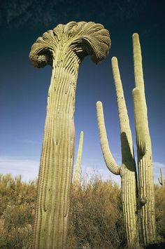 ✮ Arizona - What happened to this cactus?   This is a Crested Saguaro. Biologists disagree as to why some saguaros grow in this unusual form. Some speculate that it is a genetic mutation. Others say it is the result of a lightning strike or freeze damage. At this point we simply do not know what causes this rare, crested form.