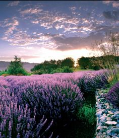Matanzas Creek Winery Lavender Gardens