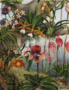1906 Exotic Orchid Varieties Victorian Botanical Chromolithograph Print 1906 Exotic Orchids Varieties Victorian Botanical Chromolithograph Print by Surrendr Dorothy, via … Vintage Botanical Prints, Botanical Drawings, Antique Prints, Botanical Art, Vintage Botanical Illustration, Botanical Posters, Vintage Prints, Illustration Botanique, Illustration Art