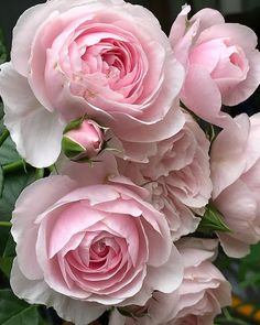 Gorgeous photos of floral arrangements to inspire you. Inspiration for your new floral tattoo to pretty floral backgrounds for your phone. Beautiful Rose Flowers, Exotic Flowers, Amazing Flowers, My Flower, Flower Pots, Beautiful Flowers, Pink Roses, Pink Flowers, Roses Photography