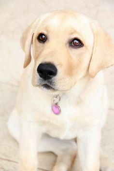 Labrador Retriever Pup ~ Classic Look All Dogs, I Love Dogs, Best Dogs, Cute Puppies, Cute Dogs, Dogs And Puppies, Doggies, Animals And Pets, Cute Animals