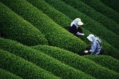 Google Image Result for http://www.newsonair.com/feature-image/Tea-Garden.jpg
