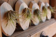 air plant in wood offcut