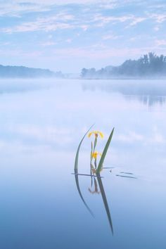 Pale-yellow iris  Photo by Felix Wesch -- National Geographic Your Shot