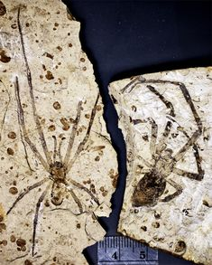 The biggest fossil spider ever found. This Jurassic spider has a body length of 1.65 centimeters (.65 inches) and a leg length of 5.82 centimeters (2.29 inches.) Fossil Spiders - Image credit: University of Kansas
