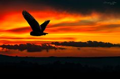 Owls, Hunting, Celestial, Sunset, Outdoor, Beautiful, Outdoors, Owl, Sunsets