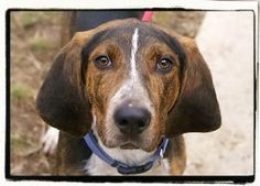 Conrad is an adoptable Hound Dog in Elmwood Park, NJ. Hello! My name is Conrad. I am a 7-month-old hound mix. I get so excited to be around people and I love to give kisses. One of my favorite pas...