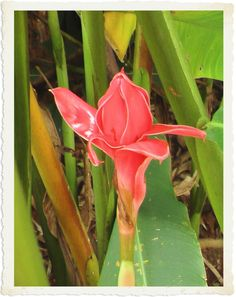 A peculiar looking flower in Thailand in Nov 2004