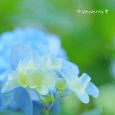 #Hydrangea#紫陽花