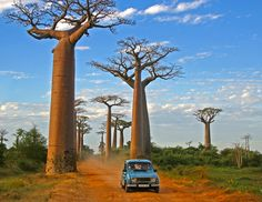 Baobab Alley - Google Search