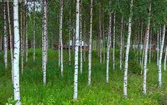 Koivikko Tuupovaarassa - koivu koivikko metsä kesä kesäinen lehtipuu talo punainen valkoinen valkorunkoinen metsikkö