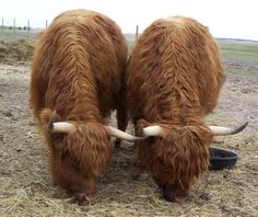 "Miniature Cattle Breed: Scottish Highland Cows :: ""these little guys have mellow personalities like dogs, enjoy attention, and are social. They will come when called and can be taught tricks"" ""$30 a month for hay"" :: :: Growing up on a farm I would suggest a feed, not just hay! -jjl."