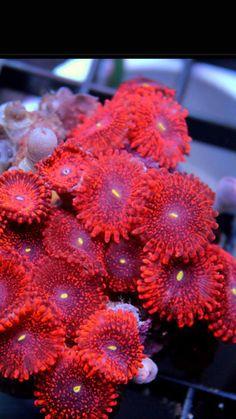 Saltwater Aquarium Fish, Saltwater Tank, Reef Aquarium, Marine Aquarium, Marine Fish, Underwater Creatures, Ocean Creatures, Coral Reef Animals, Coral Frags
